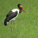 Saddle-billed Stork - Photo (c) Nik Borrow, some rights reserved (CC BY-NC)