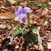 Viola × obtusogrypoceras - Photo (c) Aline Horikawa, todos los derechos reservados