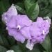 Bigflower Raintree - Photo (c) Lina Parrado, all rights reserved
