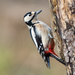 Great Spotted Woodpecker - Photo (c) The Wasp Factory, some rights reserved (CC BY-NC-SA)