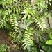 Climbing Fern - Photo (c) savvy, all rights reserved, uploaded by Nick Saville
