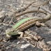 Balkan Wall Lizard - Photo (c) Vasilis Tsak, all rights reserved