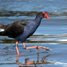 Australasian Swamphen - Photo (c) Graham Winterflood, some rights reserved (CC BY-SA)