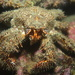 Spiny Lithode Crab - Photo (c) Emily Perkovic, all rights reserved