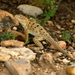 Reticulate Collared Lizard - Photo (c) Lou Hamby, all rights reserved