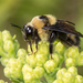 Black-and-gold Bumble Bee - Photo (c) Heather Holm, all rights reserved