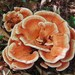 Laetiporus - Photo (c) T.Kewin, some rights reserved (CC BY-SA)