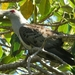 Channel-billed Cuckoo - Photo (c) rob_n, all rights reserved
