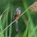 Cacomantis merulinus - Photo (c) Oscar Ho, όλα τα δικαιώματα διατηρούνται