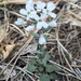 Fendler's Pennycress - Photo (c) D. Black, all rights reserved
