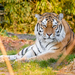 Amur Tiger - Photo (c) Mathias Appel, some rights reserved (CC BY-NC)