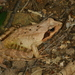 Ueno's Brown Frog - Photo (c) Taewoo Kim, all rights reserved