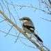Iberian Grey Shrike - Photo (c) Clifford Yuma, all rights reserved