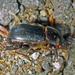Heteronychus arator - Photo (c) nzwide, kaikki oikeudet pidätetään, uploaded by Phil Bendle