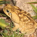 Cane Toad - Photo (c) swheads, all rights reserved, uploaded by Sam W. Heads