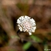 Small-leaf Squarestem - Photo (c) Alex Salcedo, all rights reserved