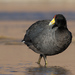 Slate-colored Coot - Photo (c) Jorge Schlemmer, all rights reserved