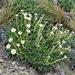 Celmisia viscosa - Photo (c) david_lyttle, todos los derechos reservados, uploaded by David Lyttle