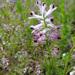 Fumaria occidentalis - Photo (c) Tig, todos los derechos reservados