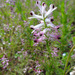 Western Ramping-Fumitory - Photo (c) Tig, all rights reserved