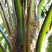 Palma Kentia - Photo (c) nzwide, todos los derechos reservados, uploaded by Phil Bendle
