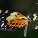 Melinaea ludovica paraiya - Photo (c) Daniel Hinckley, όλα τα δικαιώματα διατηρούνται