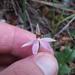 Caladenia variegata - Photo (c) savvy, kaikki oikeudet pidätetään, uploaded by Nick Saville