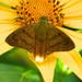 Saltarina Relámpago de Punta Amarilla - Photo (c) Robert GIlson, todos los derechos reservados, uploaded by Robert Gilson