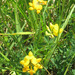 Common Bird's-foot Trefoil - Photo (c) christyc, all rights reserved, uploaded by christyc