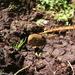 Poodytes punctatus caudatus - Photo (c) antkusabs, todos los derechos reservados, uploaded by Antony Kusabs