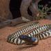 Aspidites melanocephalus - Photo (c) Adam Brice, todos los derechos reservados