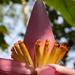 Plátano Ornamental Asiático - Photo (c) Moisés Chico, todos los derechos reservados