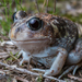 Moaning Frog - Photo (c) Adam Brice, all rights reserved
