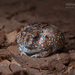 Desert Spadefoot Toad - Photo (c) Adam Brice, all rights reserved