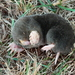 Eastern Mole - Photo (c) mayfly1963, some rights reserved (CC BY), uploaded by mayfly1963