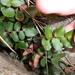 Pellaea calidirupium - Photo (c) savvy, todos los derechos reservados, uploaded by Nick Saville