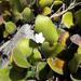 Wahlenbergia rupestris - Photo (c) savvy, kaikki oikeudet pidätetään, uploaded by Nick Saville