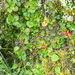 Nertera ciliata - Photo (c) david_lyttle, kaikki oikeudet pidätetään, uploaded by David Lyttle