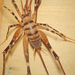 Pachyrhamma - Photo (c) nzwide, todos los derechos reservados, uploaded by Phil Bendle