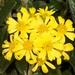 Brachyglottis revoluta - Photo (c) chrismorse, all rights reserved