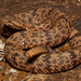 Rock Rattlesnake - Photo (c) Michael Price, all rights reserved
