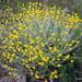 Helichrysum cymosum - Photo (c) nzwide, todos los derechos reservados, uploaded by Phil Bendle