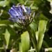 Agapanthus praecox orientalis - Photo (c) Tig, todos los derechos reservados