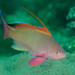 Lyretail Anthias - Photo (c) Ian Shaw, all rights reserved