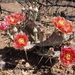 Opuntia pottsii - Photo (c) Aaron Balam, todos los derechos reservados