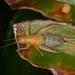 Ornebius bimaculatus - Photo (c) Taewoo Kim, todos los derechos reservados