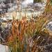 Marsippospermum gracile - Photo (c) chrismorse, kaikki oikeudet pidätetään