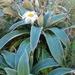 Celmisia verbascifolia - Photo (c) chrismorse, todos los derechos reservados