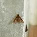Rhagastis binoculata - Photo (c) greenlapwing, todos los derechos reservados