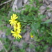 Senecio glaucophyllus - Photo (c) melissa_hutchison, todos los derechos reservados, uploaded by Melissa Hutchison